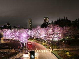 Pemandangan jalur sakura pada malam hari di Roppongi Midtown