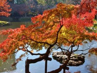 Mapel Jepang bercabang di atas kolam