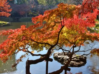 Japanese maple branching out over a pond