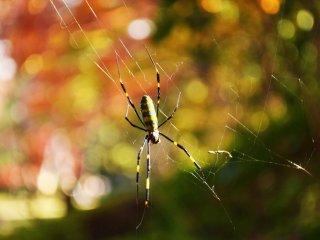 Laba-laba ini sedang mengerjakan pekerjaan hariannya