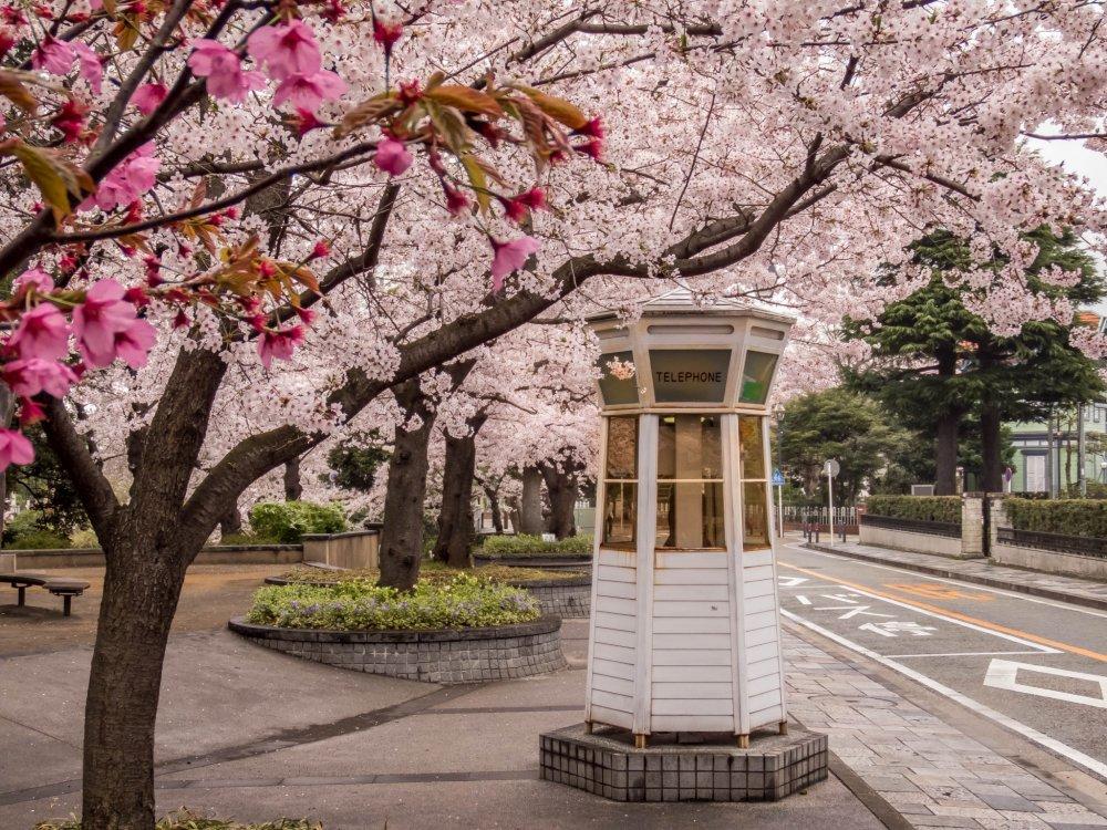 Sebuah kotak telepon klasik yang tersesat di tengah-tengah lautan sakura