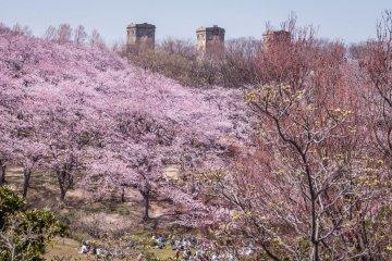 ดอกซากุระในสวนเนะกิชิ