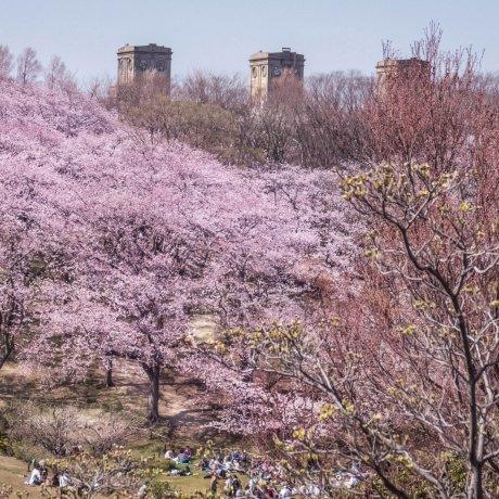 Hoa anh đào nở tại công viên Negishi
