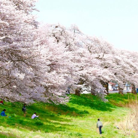 1000 Cherry Blossoms at a Glance