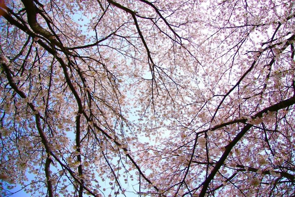 辺り一面ピンクと白に染まる