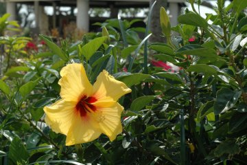 These signature Okinawan flower can be found in Hotel Breeze Bay Marina's well manicured gardens.