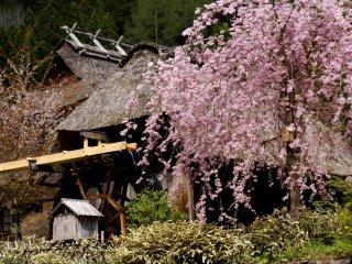 As cerejeiras choronas florescem em meados de abril