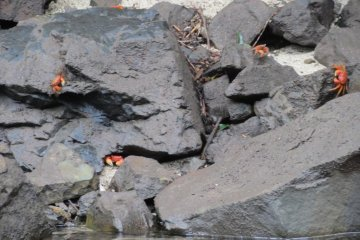 Crabs on the river bank