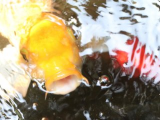 """An intrigued """"koi"""" fish investigating."""