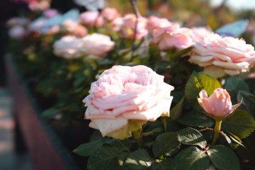 虹彩花園-玫瑰花園:粉玫瑰