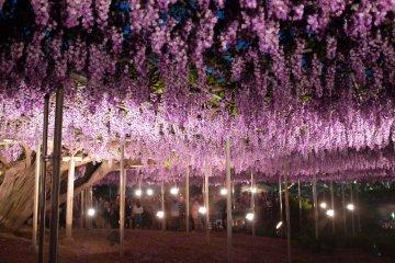 夜燈底下的八重紫藤