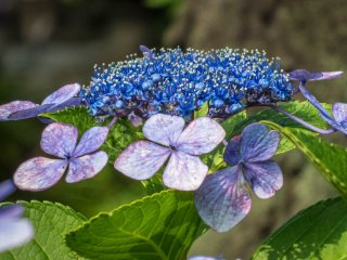 From late May to June this peaceful park has many colorful hydrangeas
