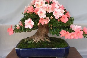 Satsuki are strong against insects and disease, making them ideal bonsai candidates