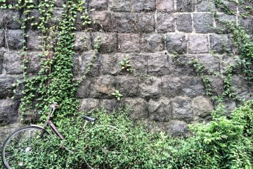 Ivory is taking over this old stone wall in Yanaka
