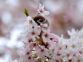 موسم الساكورا (أزهار الكرز)