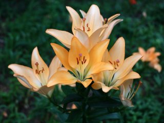 Lilies in full bloom.