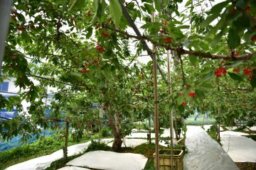 One of Nao-san's cherry orchards