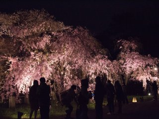 Less commercialised than other tourist spots, it was a pleasure to enjoy the sakura in relatively more peace and quiet