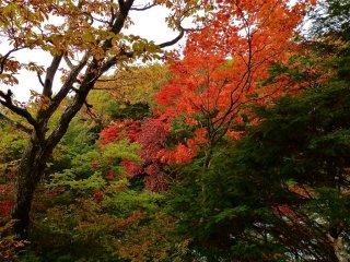 Les feuilles d'érable deviennent rouge vif