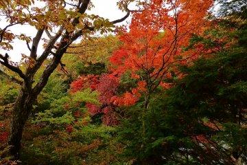 단풍잎은 밝은 빨간색으로 변한다