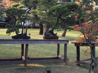 Une série de bonsaï exposé dans le parc