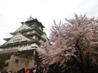 قلعة أوساكا المشهورة وأشجار الكرز في الربيع
