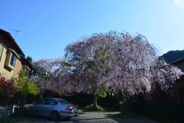 Sakura tree in full bloom on Saga-Toriimoto Street