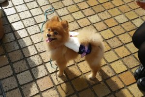 Pomeranian dog at a cosplay festival, Tokyo