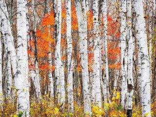 Березы с мраморными листьями