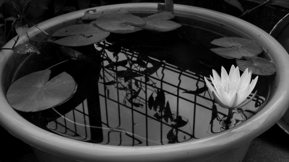 A lotus blossom in a basin