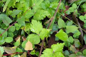 An edible plant underfoot