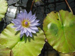 بالنسبة لي زنبق الماء هي زهرة غريبة