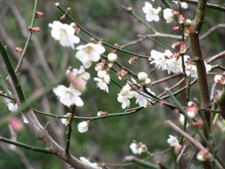 Sakura on Takaosan