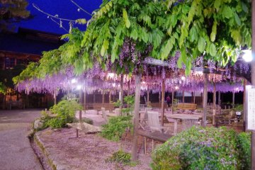 The 150 years old wisteria in the mansion's courtyard