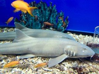 Sharks at the Kaiyukan Aquarium