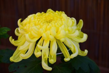 Chrysanthemum Festival at Sankeien