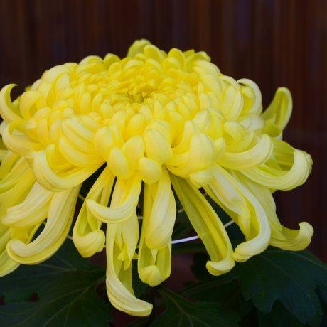 Lễ hội hoa cúc ở Sankeien