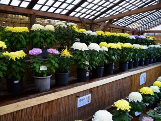 Giant chrysanthemums in many colors