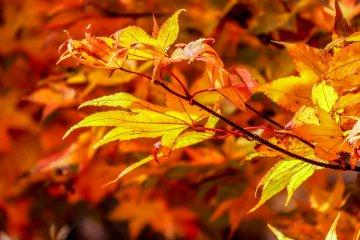 ใบไม้เปลี่ยนสีที่นิกโกะ