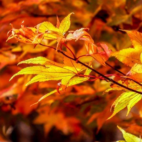 Nikko's Autumn Colors