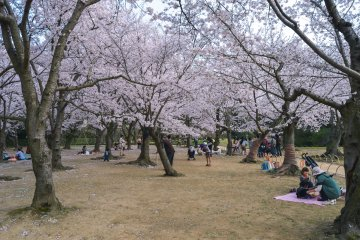 Cherry Blossom season is a great time to visit Korakuen