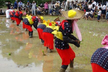 Festival Menanam Padi Arao