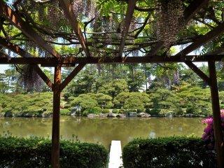Les glycines en fleurs ajoutent à la beauté du jardin