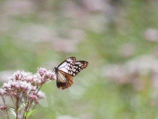 フジバカマと旅する蝶アサギマダラ 10月