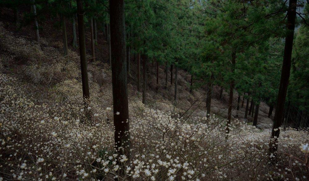 和紙の原料になるミツマタの花