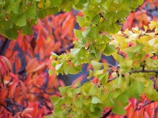 11월 중순에서 후반경에 밝은 녹색, 노란색 및 붉은색이 피어납니다.