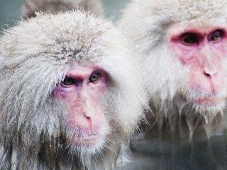 Monyet-monyet yang terkenal sering mandi di onsen alami