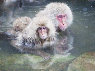 Kera Jepang terkenal sebagai hewan yang gemar bersosialisasi