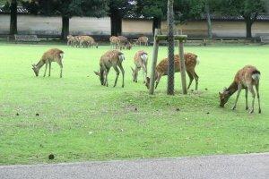 Một vài trong số 1300 chú hươu ở công viên Nara