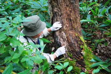 Expert mushroom picker Haga-san is sniffing out a massive maitake
